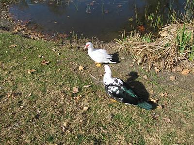 Muscovy Ducks (Cairina moschata), Rubidoux. 06 Feb 2007
