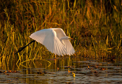 Great Egret Sunset Takeoff