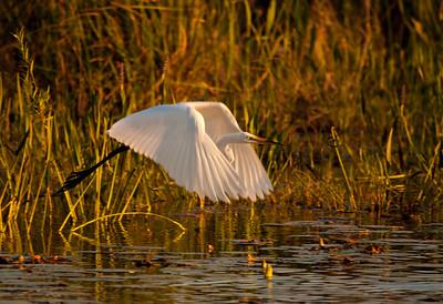 Great Egret Sunset Takeoff