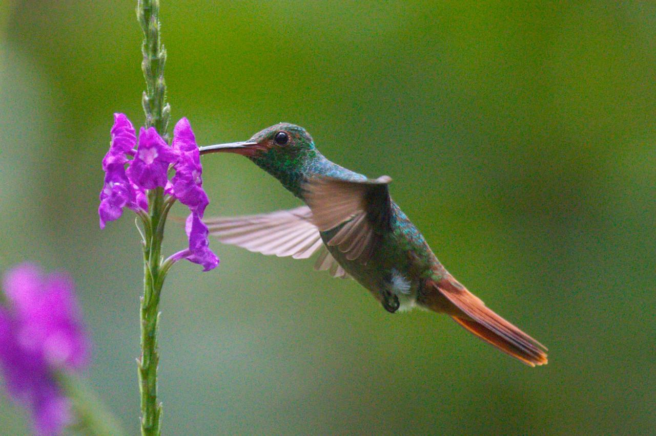 Rufous Tailed Hummingbird Feeding