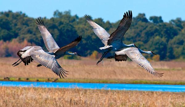 Sandhill Cranes in Flight, Sacramento Wildlife Refuge