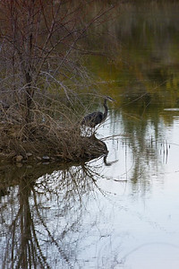 The Elusive Blue Heron