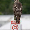This hawk has been hanging out all around the airport all weekend.
