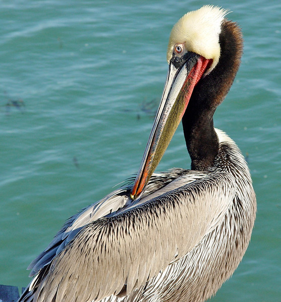 Brown Pelican Grooming<br /> Santa Barbara Pier