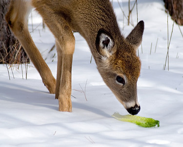 Deer and Lettuce