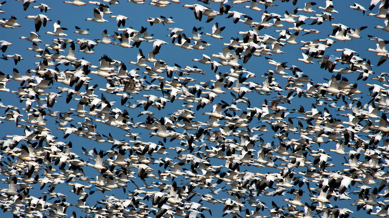 A Flock of Snow Geese doing their morning warm-ups.