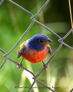 """Bunting On The Wire"".  (Painted Bunting)"