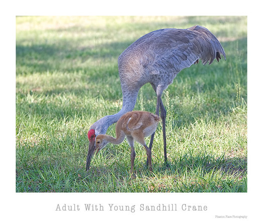 Adult With Young Sandhill Crane