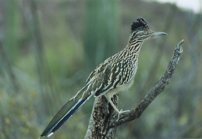 Roadrunner Arizona, USA