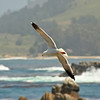 Soaring<br /> Point Lobos, CA