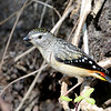 Female Spotted Pardalote beside nesting burrow
