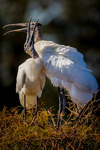 Wood Stork Mother and child
