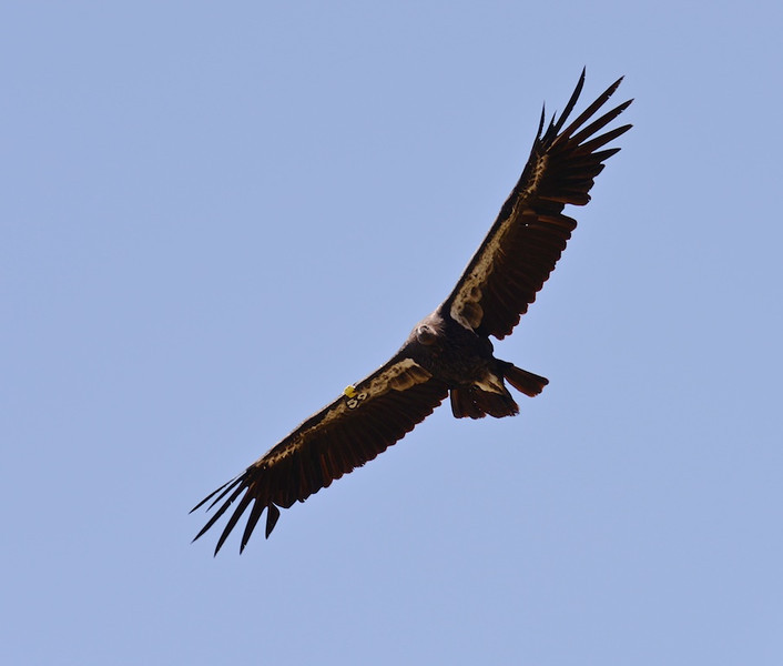 "Condor #59, aka ""Quiet One"", passes overhead.  He was hatched in 2010 and spends most of his time in Big Sur."