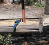 Stellar's Jay (Cyanocitta stelleri), Idyllwild Nature Center, 17 Jun 2007