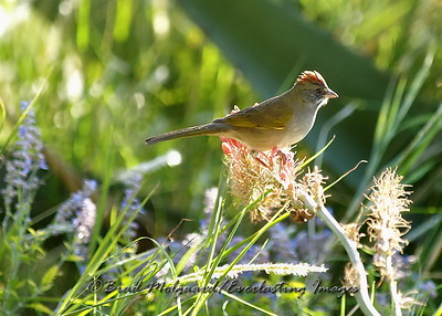 """Straight Forward"" (Green-tailed Towhee)"