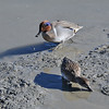 Green-Winged Teal in Blue and Mate<br /> Palo Alto Bay Lands, CA