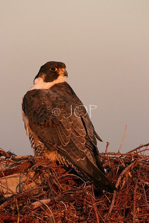 Peregrine  Falcon at the beach #2  3rd Place 2009 Wildlife in North Carolina Photo Competition Youth Category.