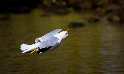 Gull Flying Upside Down