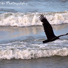 """The Buzz Between the Waves by Lora Mosier<br /> <br /> Who says there's no surf in Cleveland, USA?  <br /> <br /> This guy was just buzzing along the water, heading out from a feeding frenzy, which might explain why he was flying so low...too full.<br /> <br />  <a href=""""http://www.burningriverboutique.com"""">http://www.burningriverboutique.com</a>"""