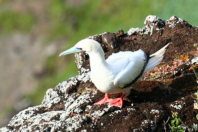 Red Footed Booby Kauai, Hawaii