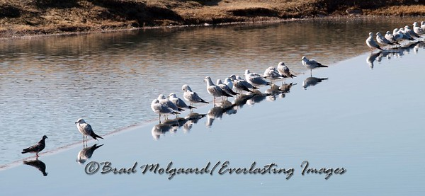 """Gull Reflections"" Lower Tansill Dam - Carlsbad, NM"