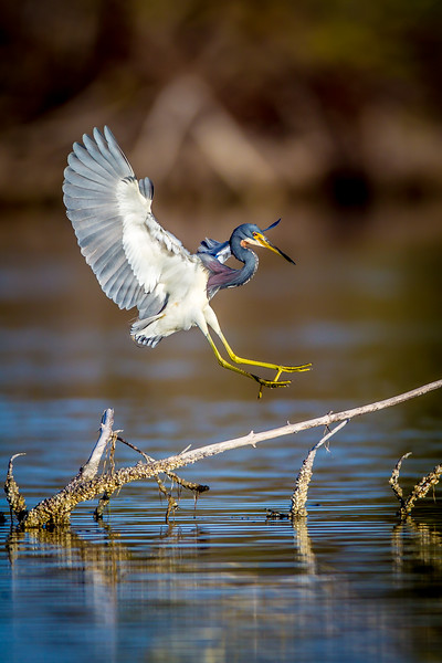 Tricolor Heron Landing