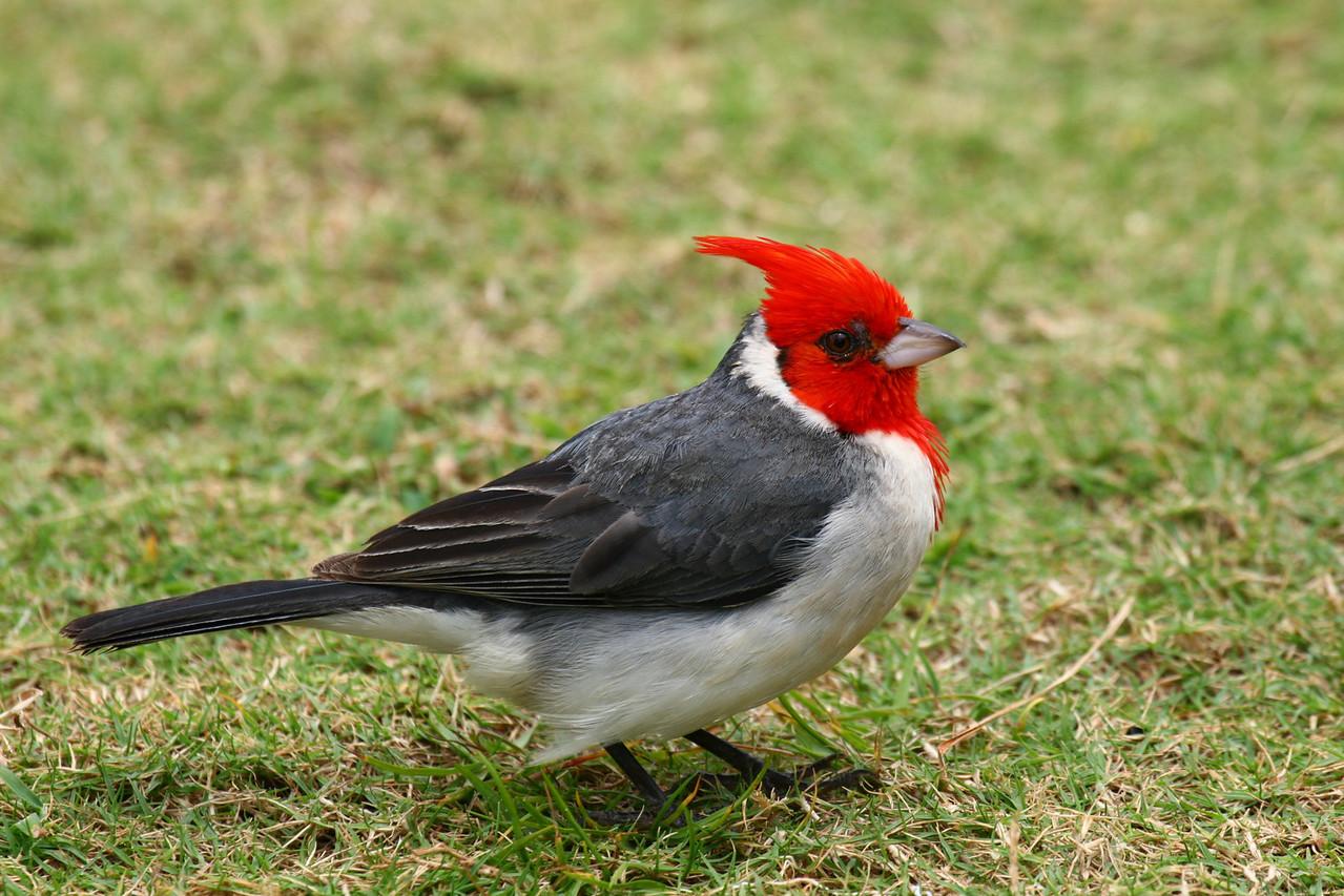 Red Crested Cardinal Kauai, Hawaii