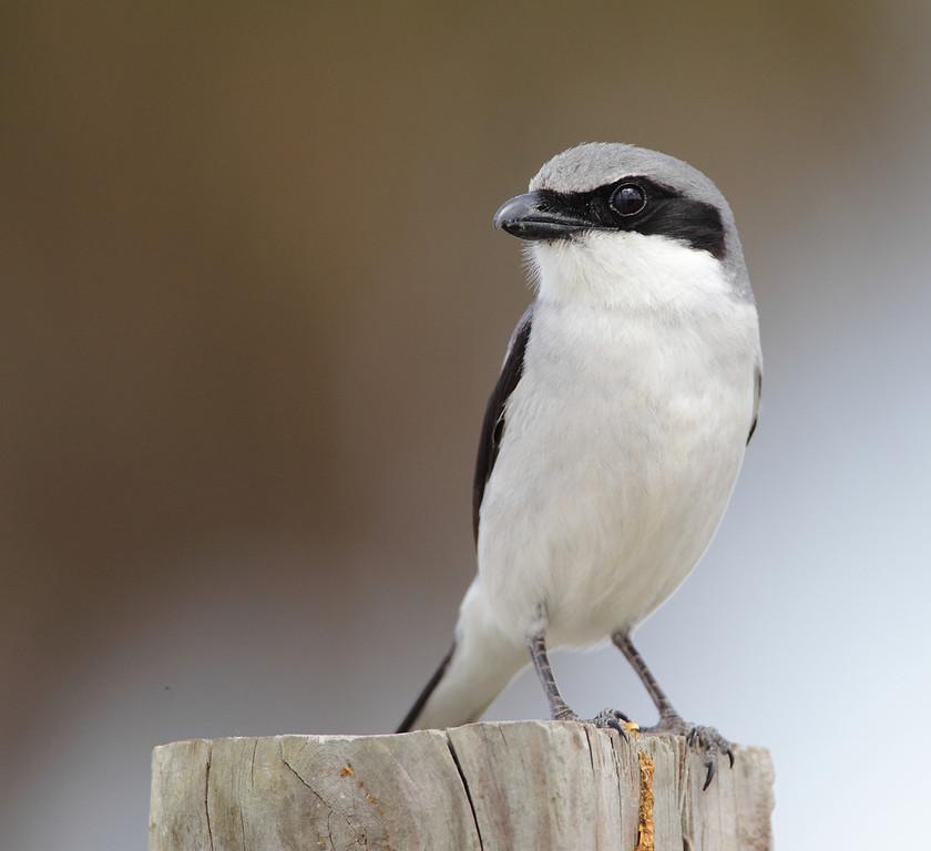 IMAGE: https://photos.smugmug.com/Other/Birds/i-tpJcvVj/0/09cbe2c2/XL/284-XL.jpg