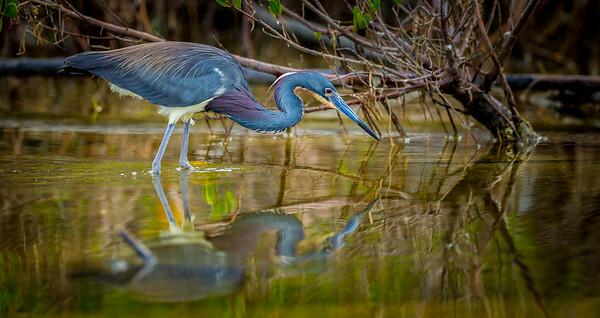 Hunting Little Blue Heron