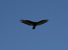 Turkey Vulture (Cathartes aura)<br /> Paso Robles<br /> 27 Jun 2010