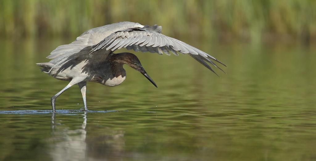 IMAGE: https://photos.smugmug.com/Other/Birds/i-wQnMGcV/0/XL/903-XL.jpg