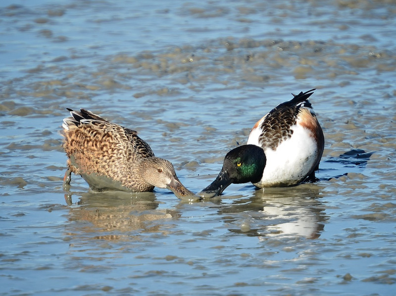 Northern Shoveler Pair in the mud<br /> Palo Alto Bay Lands