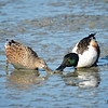Northern Shoveler Pair in the mud<br /> Palo Alto Bay Lands
