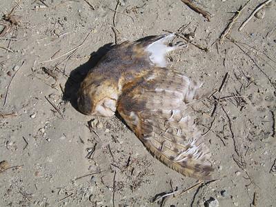 Common Barn Owl (Tyto alba -- found dead), Olancha, 1 Mar 2007