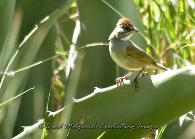 Green-tailed Towhee on an Agave