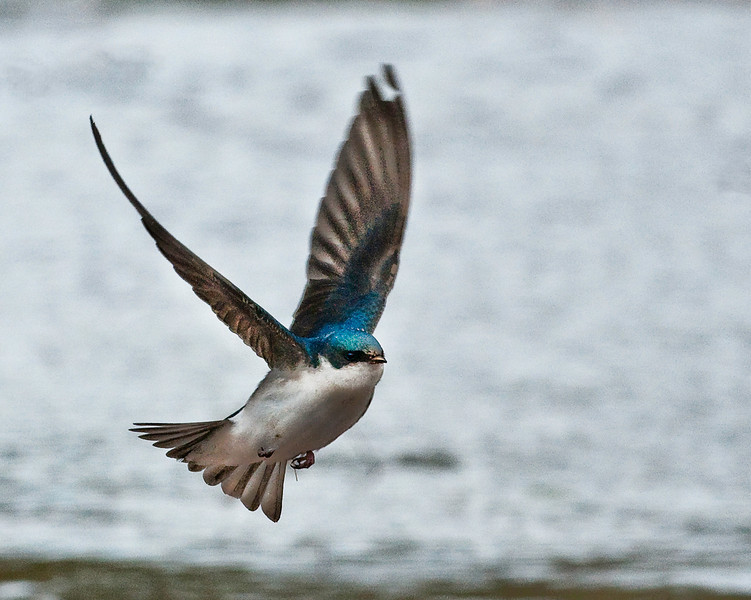 Barn Swallow landing