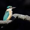 Sacred Kingfisher (Todiramphus sanctus), Tallebudgera Creek, Burleigh Heads, Queensland.