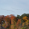 Geese over the trees.
