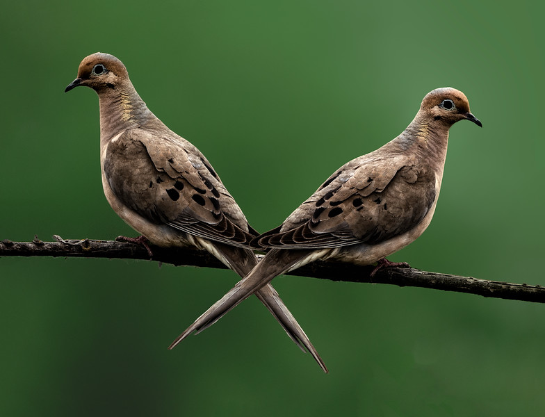 Pair of Mourning Doves