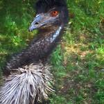 """""""Moi?"""" (Emu)"""