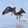 Brown Pelican lift off