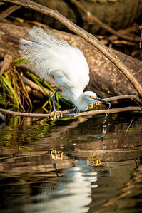 Snowy Egret drinking