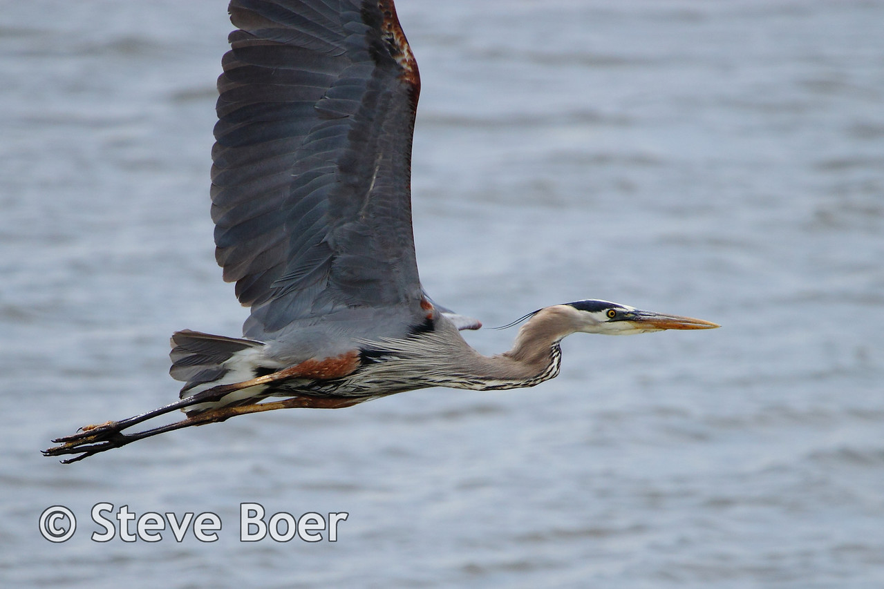 Great Blue Heron taking off