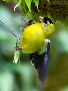 2012 07 29_2012BackyardGoldfinches_0328_2