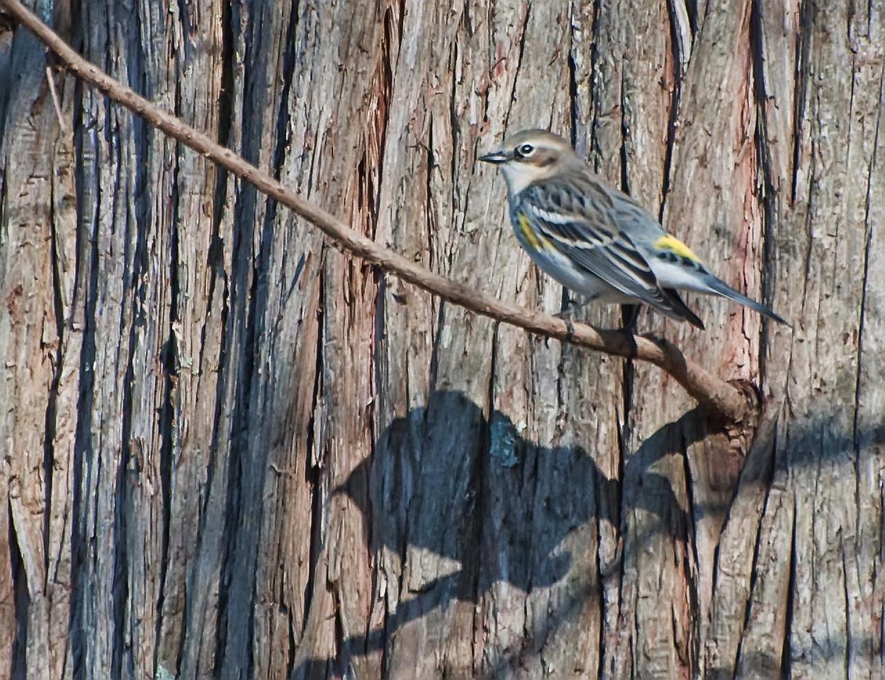 Yellow Rumped Warbler?