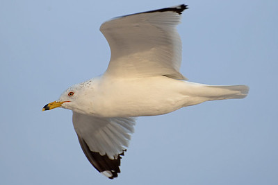 Ring-Billed Gull.  Vilano Beach, FL