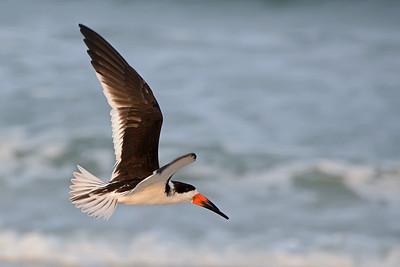 Black Skimmer.  Vilano Beach, FL