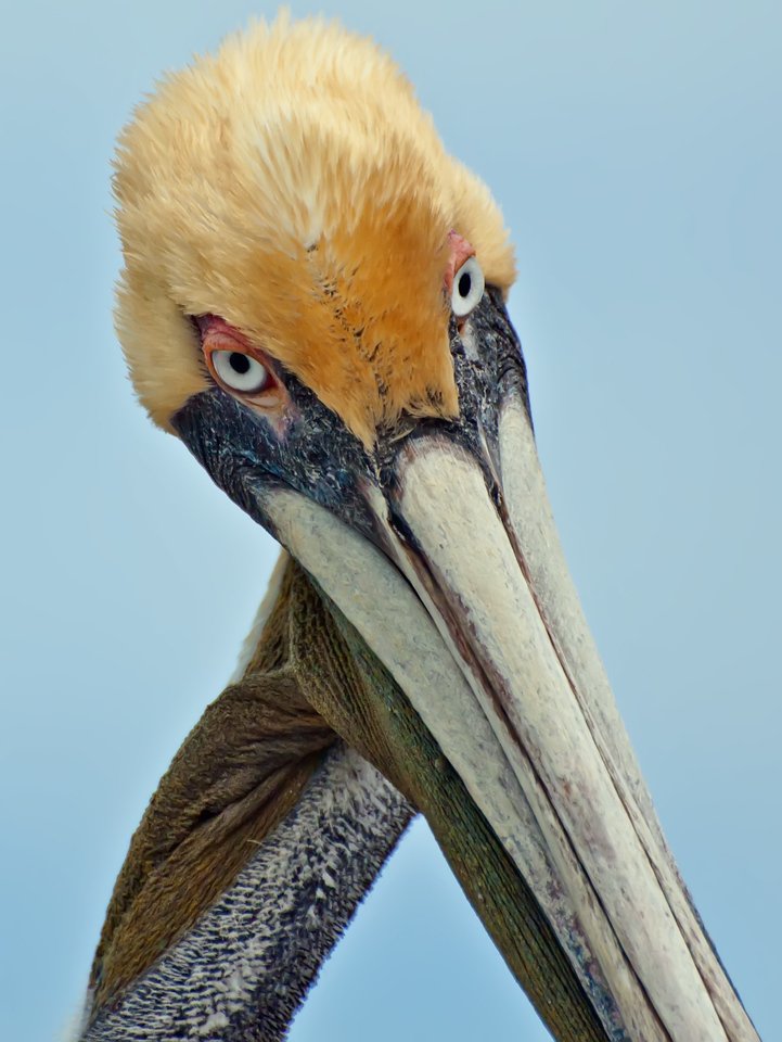 Brown Pelican - Tavernier Key, FL