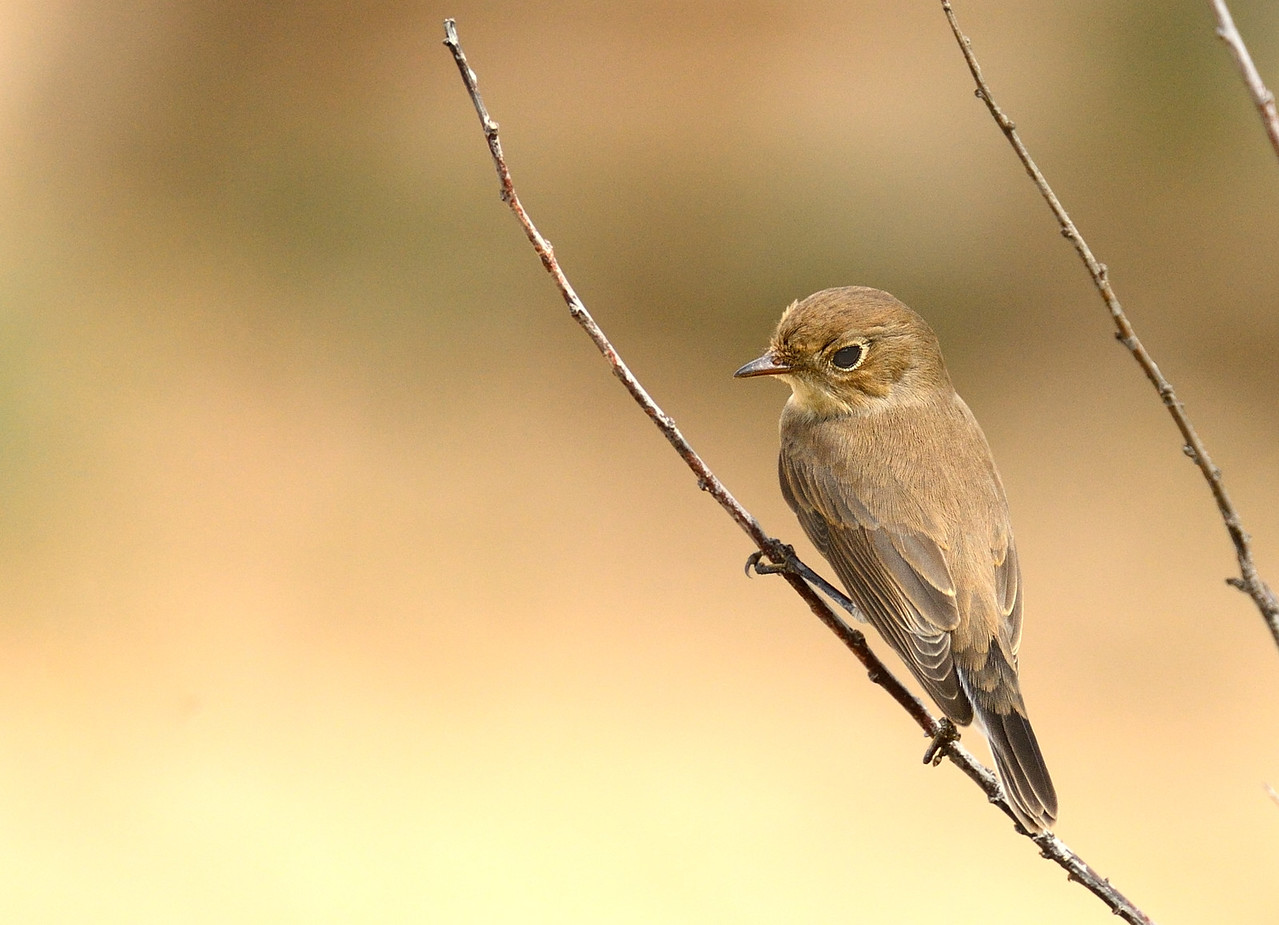 Red-breasted Flycatcher/Ficedula parva