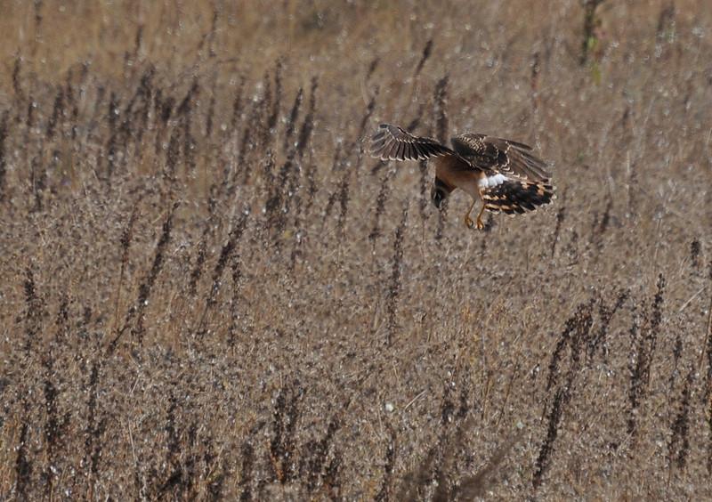 Northern Harrier/Circus cyaneus
